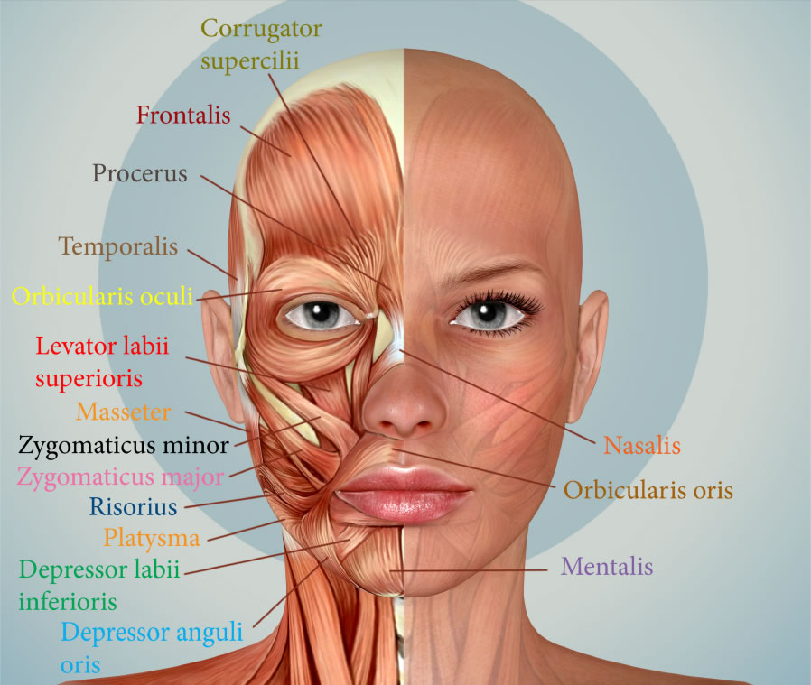 Mišići lica